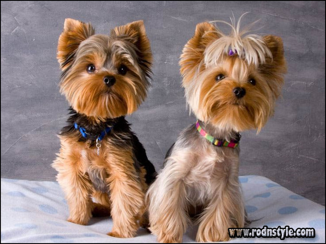 Yorkie Haircuts Styles Pictures 1 Haircuts Images