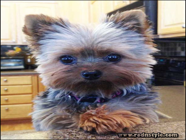 Yorkie Haircuts Styles Pictures 10