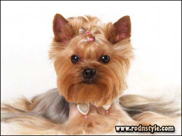 Image for The 10 Best Resources for Yorkie Haircuts Styles Pictures