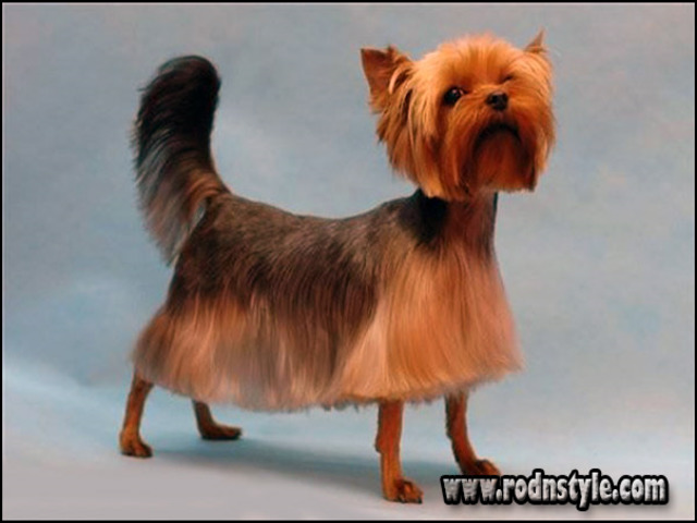 Yorkie Haircuts Styles Pictures 9 Haircuts Images