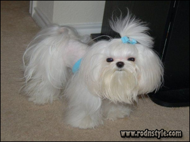 Maltese Haircuts Styles Pictures 10