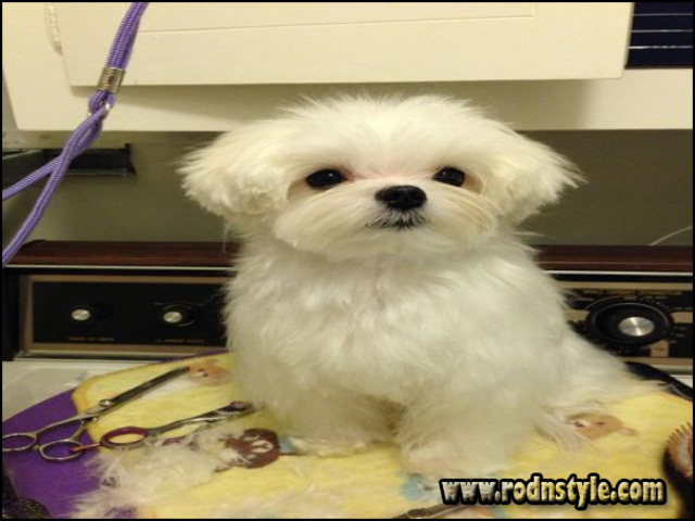 Maltese Haircuts Styles Pictures 3