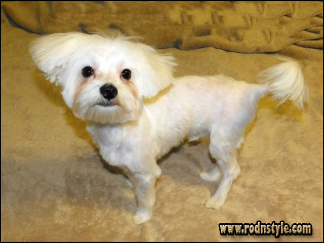 Maltese Haircuts Styles Pictures 9
