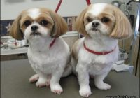 Haircuts For Shih Tzus 0