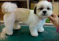 Haircuts For Shih Tzus 1