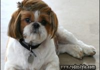 Haircuts For Shih Tzus 11
