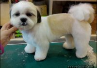 Haircuts For Shih Tzus 7