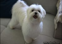Maltese Haircuts Styles Pictures 6