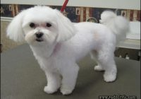 Maltese Haircuts Styles Pictures 7