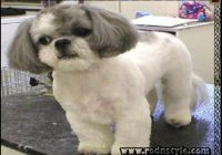 Shih Tzu Haircuts Pictures 2