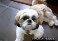 Shih Tzu Haircuts Pictures 5