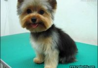 Yorkie Haircuts Styles Pictures 0