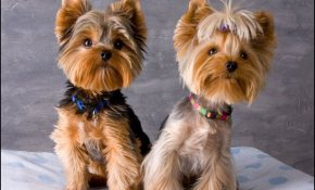 Yorkie Haircuts Styles Pictures 1
