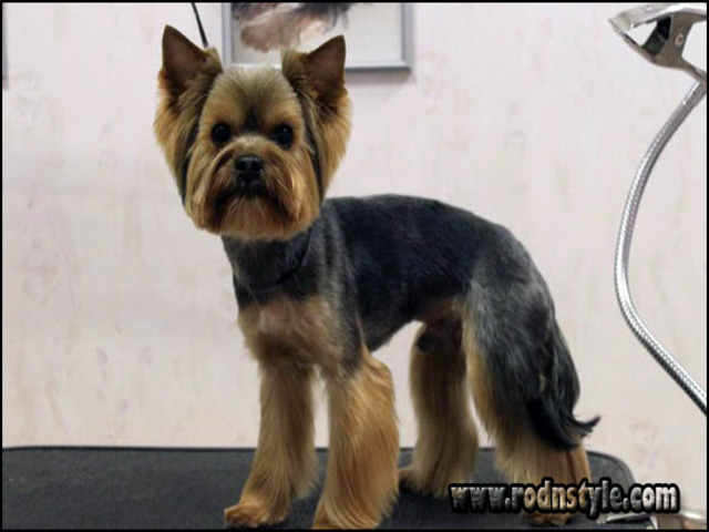 Yorkie Haircuts Styles Pictures 12