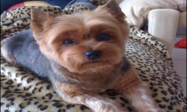 yorkie-haircuts-styles-pictures-1-630x380 The 10 Best Resources for Yorkie Haircuts Styles Pictures