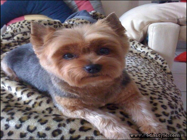 Yorkie Haircuts Styles Pictures 13
