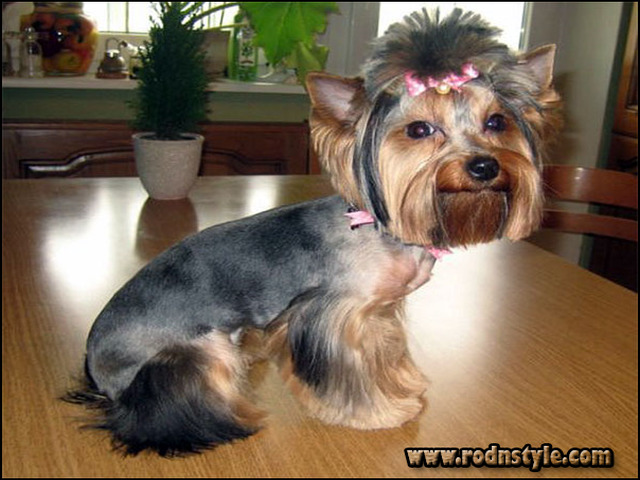 Yorkie Haircuts Styles Pictures 8