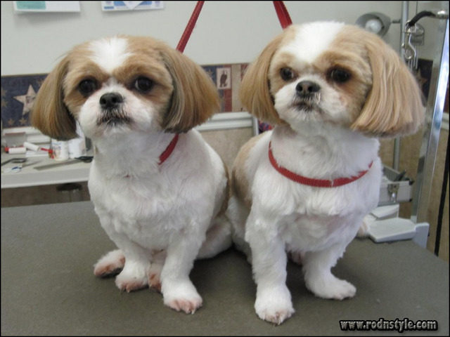 Haircuts For Shih Tzus 0
