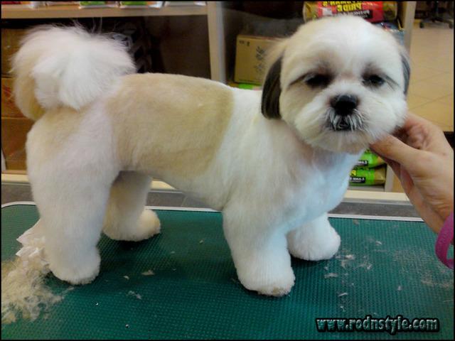 Haircuts For Shih Tzus 1