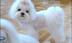 Maltese Haircuts Styles Pictures 0
