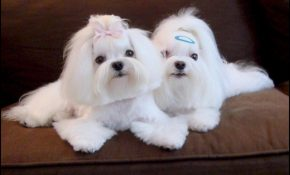 Maltese Haircuts Styles Pictures 1