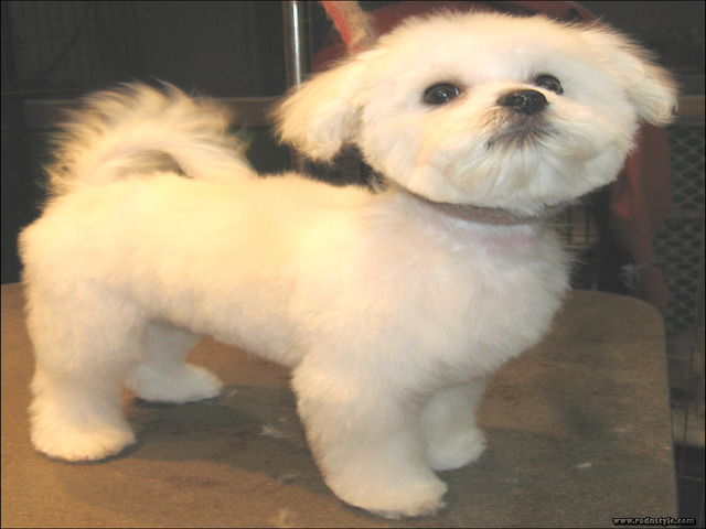 Maltese Haircuts Styles Pictures 13