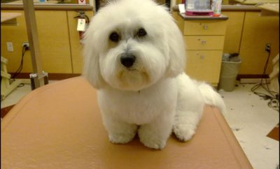 Maltese Haircuts Styles Pictures 5