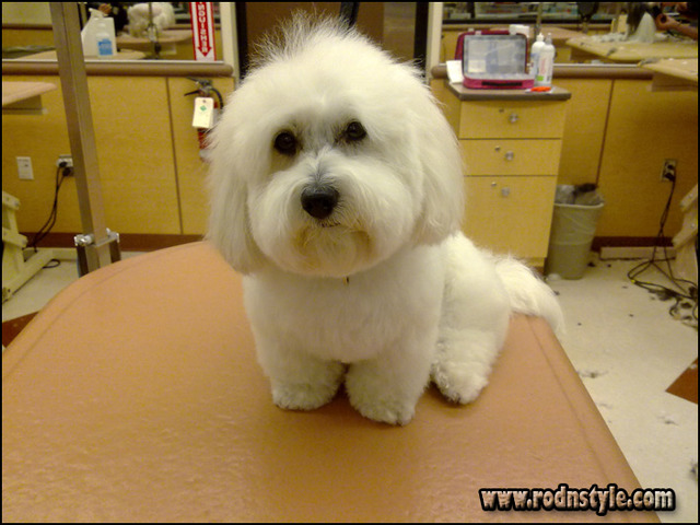 Image for Does Your Maltese Haircuts Styles Pictures Pass The Test? 7 Things You Can Improve On Today