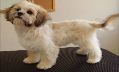 Shih Tzu Haircuts Pictures 11