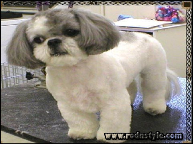Shih Tzu Haircuts Pictures 2