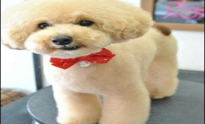 Types Of Dog Haircuts 8