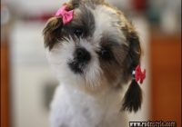 Haircuts For Shih Tzus 12