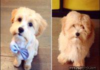 Types Of Dog Haircuts 10