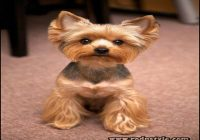 Yorkie Haircuts Styles Pictures 11