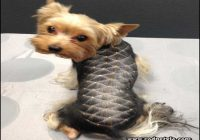 Yorkie Haircuts Styles Pictures 2