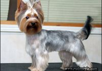 Yorkie Haircuts Styles Pictures 3