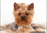 Yorkie Haircuts Styles Pictures 4