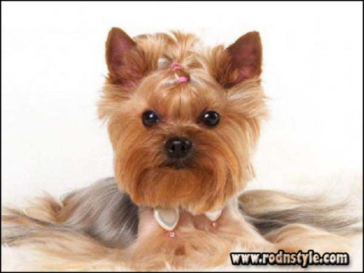 Permalink to The 10 Best Resources for Yorkie Haircuts Styles Pictures