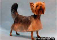 Yorkie Haircuts Styles Pictures 9